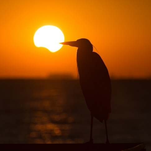 Partial Solar Eclipse with Great Blue Heron Silhouette - St Petersburg por Matthew Paulson